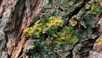 The Rare & Unusual Moss That Mimics Cannabis